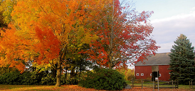 A large tree with colorful fall foliage next to a red barn around Boston, MA.