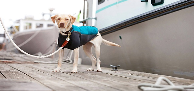 A yellow lab dog wearing a black and teal colored jacket on a boat dock.