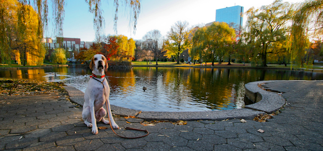 A dog sitting next to a pond in Boston.