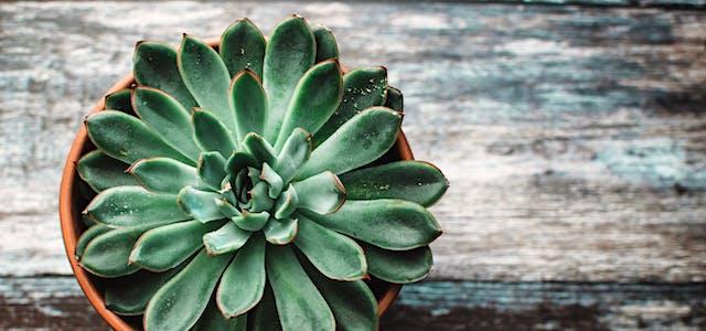 green-succulent