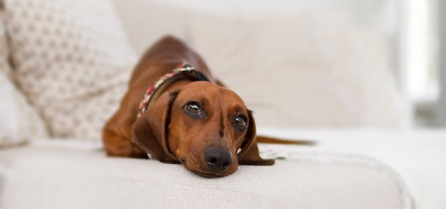 dachshund laying on the couch